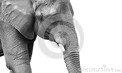 Powerful black and white elephant portrait