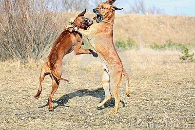 Powerful dogs playing
