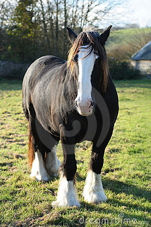 A powerful draft/shire horse