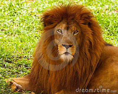A powerful lion looking at you