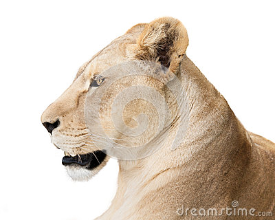 Powerful lioness