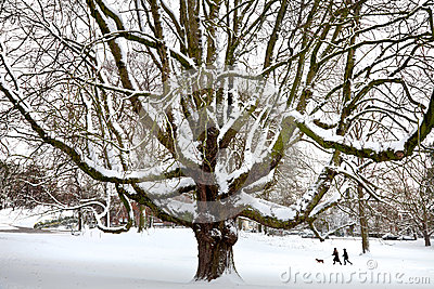 Powerful old tree in the snow.