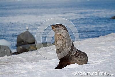 Pozy futerkowa foka