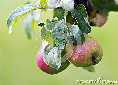 Äpplen på en tree
