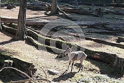 Prague Zoo - baby mountain goat Stock Photo