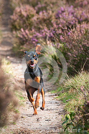 Praguer Rattler running