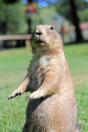 Free Prairie Dog Stock Photo - 15401330