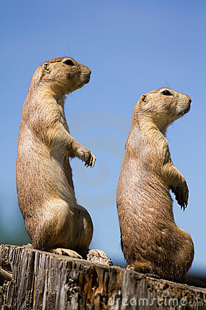 Free Prairie Dog Stock Photo - 19799710