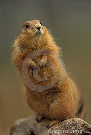 Free Prairie Dog Stock Photo - 22640