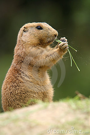 Free Prairie Dog Royalty Free Stock Photography - 3006247