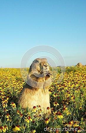 Free Prairie Dog Royalty Free Stock Photography - 516457
