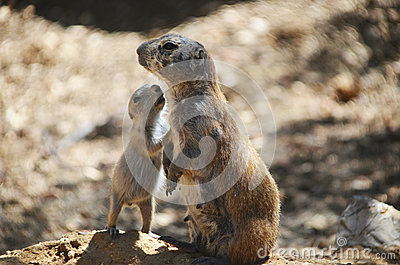 Prairie dog and baby