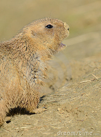 Prairie Dog Calling