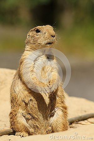 Prairie dog coverd with sand standing upright