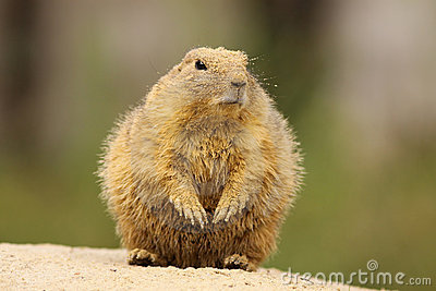 Prairie dog covered with sand standing upright