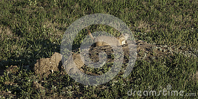 Prairie Dog (Cynomys ludovicianus) Alerts From Burrow