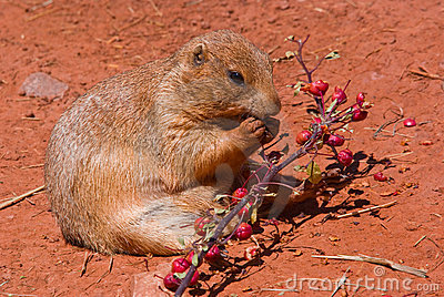 A prairie dog eating