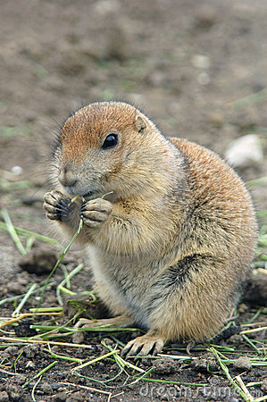Free Prairie Dog Eating Royalty Free Stock Photos - 2736338