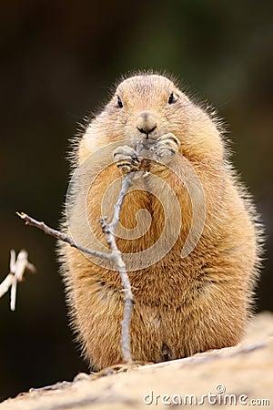 Prairie dog eating a twig