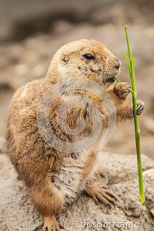 Prairie dog eating twig