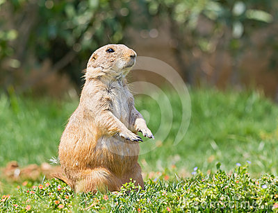 Prairie dog on grass
