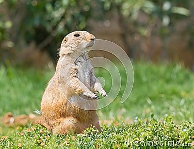 Prairie dog on grass