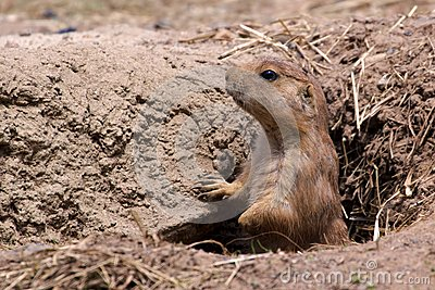 Prairie Dog in Hole