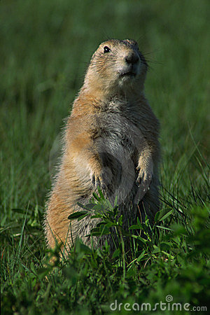 Free Prairie Dog Lookout Royalty Free Stock Image - 275516