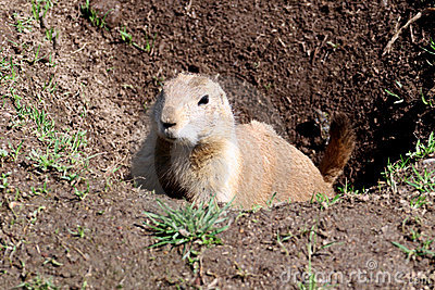 Prairie dog raising out of a hole