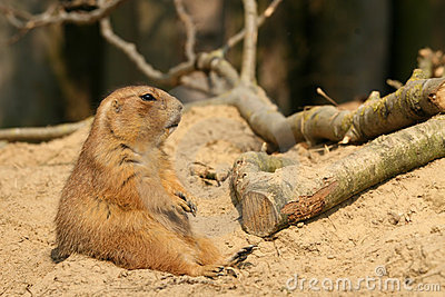 Prairie dog sitting in the sand