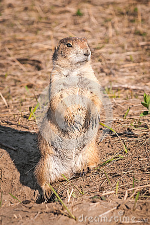 Prairie Dog Stands Alert Outside Its Burrow