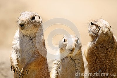 Prairie Dog Trio