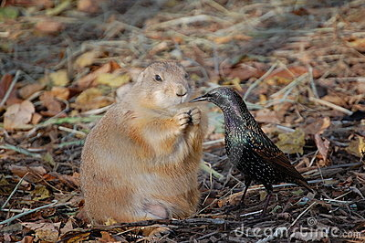 Prairie dog vs. bird for food
