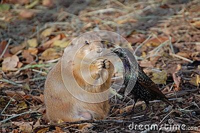 Prairie dog vs. bird for food
