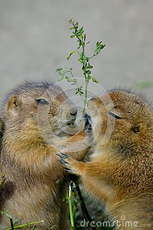 Free Prairie Dogs Royalty Free Stock Photo - 29284495