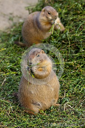 Free Prairie Dogs Royalty Free Stock Photography - 30425057