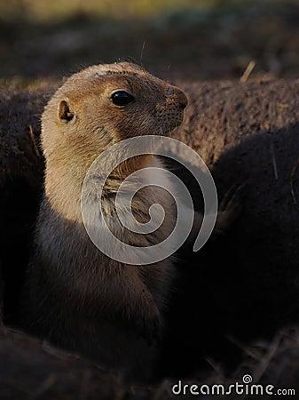 Prairie dogs (Cynomys)