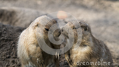 Prairie dogs interacting