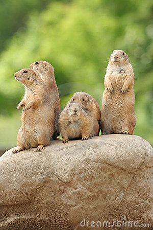 Free Prairie Dogs On Rock Royalty Free Stock Photo - 5506995