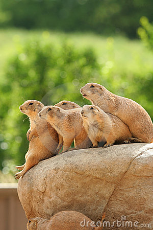 Free Prairie Dogs On Rock Royalty Free Stock Images - 5507029