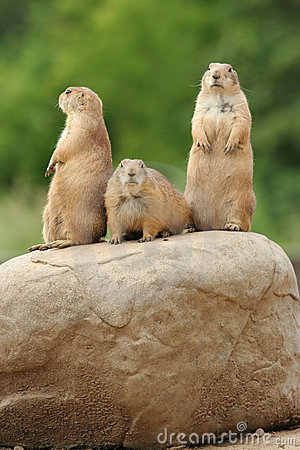 Free Prairie Dogs On Rock Royalty Free Stock Image - 5507296
