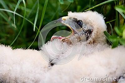 Prairie Falcon Chick