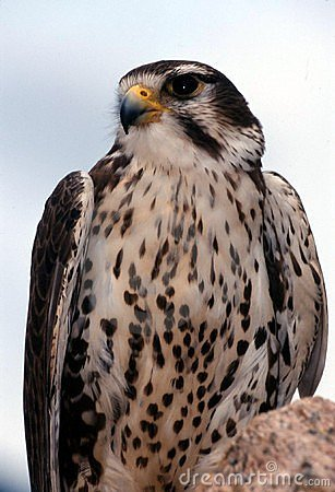 Free Prairie Falcon (Falco Mexicanus) Stock Photos - 1855583