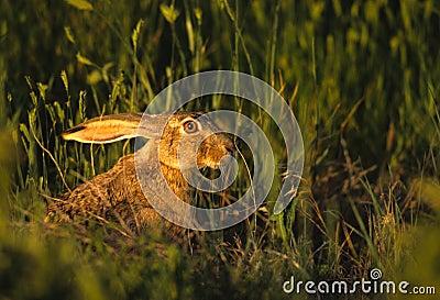 Prairiehaas met zwarte staart in Gras
