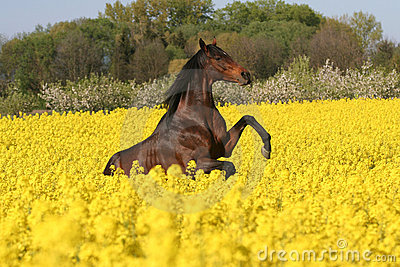 Prancing horse in colza field