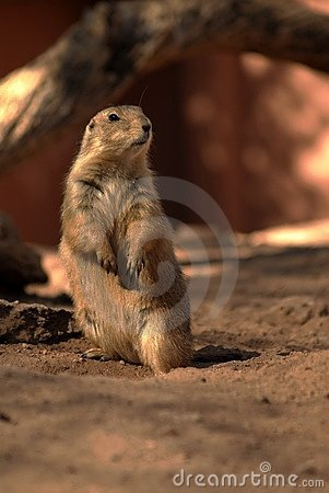 Free Prarie Dog Two Stock Photos - 705003
