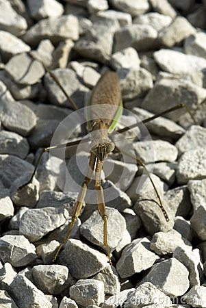 Pray Mantis Insect