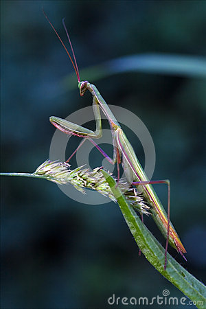 the main features of mantodea or the praying mantis The wilson journal of ornithology 129(2)  praying mantises (order mantodea,  the main predators other than mantids on north american hummingbirds and other .
