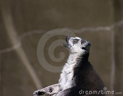 Praying Lemur