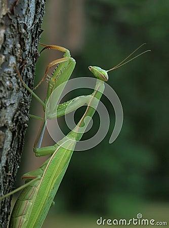 Free Praying Mantis Royalty Free Stock Images - 15775539